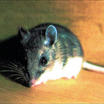 Exterminators for mouse problems